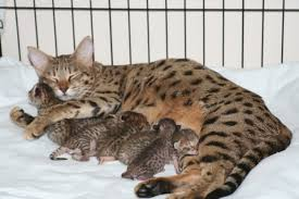 serval kittens toyger savannah f1 f2 f3 f4 kittens ocelot kittens