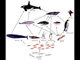 emperor penguin food chain.  Emperor Throughout Emperor Penguin Food Chain