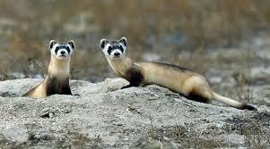 Black Footed Ferrets Vs Prairie Dogs Pethelpful