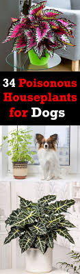34 poisonous houseplants for dogs 2