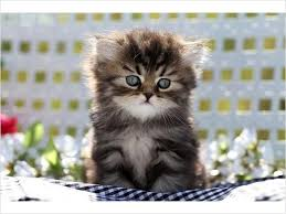 teacup persian cat. Delighful Persian Image Detail For Shaded Golden Teacup Persian Kitten   Wwwdollfacepersiankittenscom  Inside Cat A