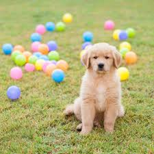 yellow golden retriever puppy. Exellent Golden Golden Retriever Puppies Are Simply Irresistible  Meadows Retrievers Intended Yellow Puppy E