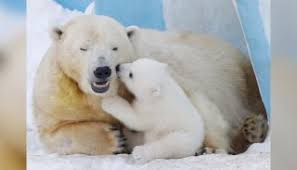 Polar Bears - News and Scientific Articles on Live Science