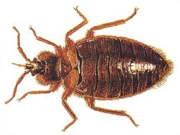 Download Bed Bugs Vs Beetles Pictures