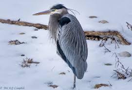 """Résultat de recherche d'images pour """"Le heron en hiver"""""""