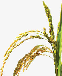 rice plant clipart. Exellent Clipart Riceplantbumper Rice Plant Bumper PNG Image And Clipart With Rice Plant L