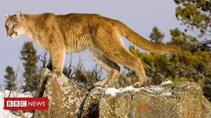 colorado runner kills cougar in self defence after