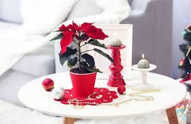 Klassiker Zum Fest Der Weihnachtsstern Gärtnerei Sinner