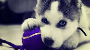 cute baby husky wallpaper. Perfect Husky Dogs Images Husky HD Wallpaper And Background Photos For Cute Baby Wallpaper B