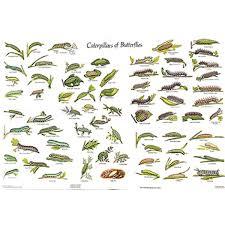 Chart Caterpillars Of The British Butterflies Gordon Riley