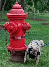 Ποιοι σκύλοι αναπτύσσουν πιο συχνά λοιμώξεις ουροποιητικού;