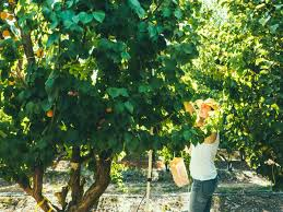 43 Best Pruning Fruit Trees Images On Pinterest  Fruit Trees Can You Prune Fruit Trees In The Summer