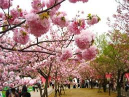「大阪 造幣局 桜」の画像検索結果