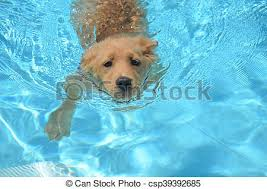 golden retriever puppies swimming. Exellent Retriever Adorable Golden Retriever Puppy Swimming  Csp39392685 And Puppies O