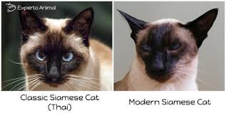 Siamese Kitten Growth Chart What Is The Best Diet For A Siamese Cat