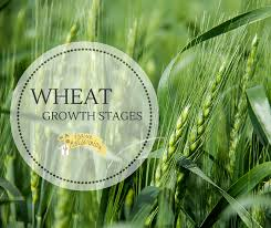 Winter Wheat Growth Stages Chart Wheat Growth Stages