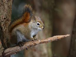 Squirrel Species Chart American Red Squirrel Wikipedia