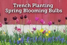 trench planting spring blooming bulbs
