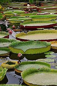 pond plants water lilies water lily pond