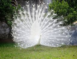 featherless peacock. Contemporary Peacock Dreaming A White Peacock Is An Auspicious Dream And Indicates Divine  Guidance It That You Are On The Spiritual Path Under Protection  And Featherless Peacock
