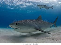 shark research stock photos shark research stock images alamy tiger shark and cobia stock image