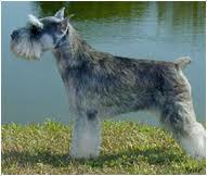 Miniature Schnauzer Dog Breed Facts And Traits Hills Pet