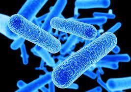 ラクト バチルス 菌
