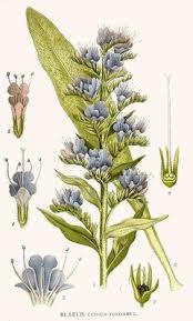 Echium vulgare Viper's Bugloss, Common viper's bugloss PFAF ...