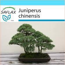 saflax gift set 30 seeds bonsai chinese juniper genévrier de chine