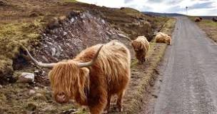 Why are Highland cows called Highland 'coos' Images?q=tbn:ANd9GcSq398kqZazcpzHJw9fZZSGHBoj6sWqognjgjUe0bpKzw&s