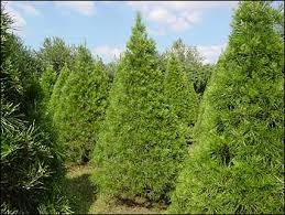 Get Your Christmas Tree On  San Diego ReaderValley Christmas Tree Farm