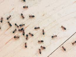 how to remove ants from home