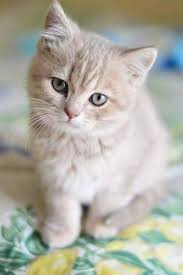 cute fluffy kittens. Contemporary Kittens Such A Cute Fluffy Kitten Throughout Cute Fluffy Kittens L