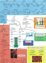 Schematic Diagram For The Pathway Of De Novo Purine