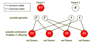 bbc   gcse bitesize  genetic diagramsgenetic diagram of ff x ff for flower colours