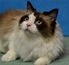 ragdoll pictures information and reviews oscar oscar