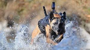 military german shepherd titanium teeth. Fine German Army Dog Running Through Water In Armoured Vest To Military German Shepherd Titanium Teeth I