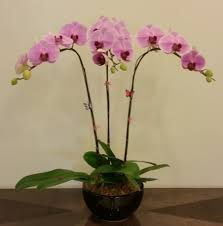 orchid plants gift or display