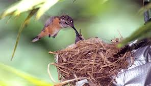 Image result for The smallest bird in the world: Bee Hummingbird Mellisuga helenae