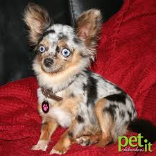 Merle Chihuahua Google Search Animals Pinterest Animal