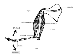 Musculoskeletal Tissues Support Systems In Animals Siyavula