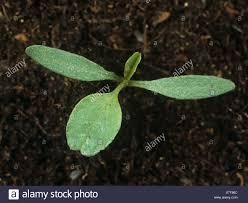 Spiny Amaranth Pigweed Spiny Calulu Amaranthus Spinosus0