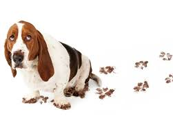 guilty bet hound with muddy feet and a trail of muddy paw prints hardwood floors