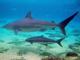 Dusky Shark Wikipedia