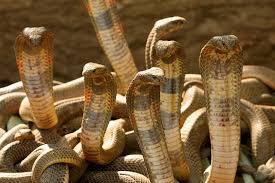 たくさんのコブラ