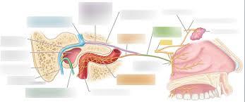 Facial Nerve Lacrimal Gland Innervation Diagram Quizlet