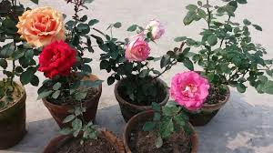 how to care rose plant hindi green gardening