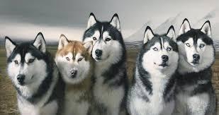 Siberian Husky Feeding Tips Pets World