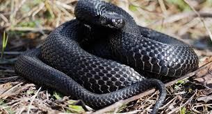 Plains black headed snake 21. Video Shows Gigantic Snake Slithering Along Nyc Subway Platform Gothamist