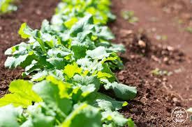 garden greens. Fall Garden: How To Harvest Baby Greens Braised Recipe Garden G